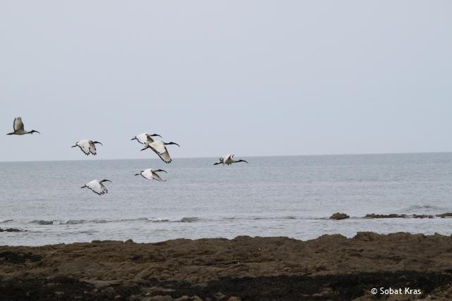 Heilige Ibis in vlucht