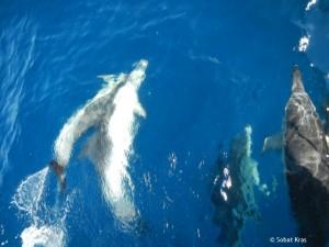 Dolfijnen Golf van Biskaje